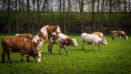 milker: cows on meadow.  Cows grazing on a field