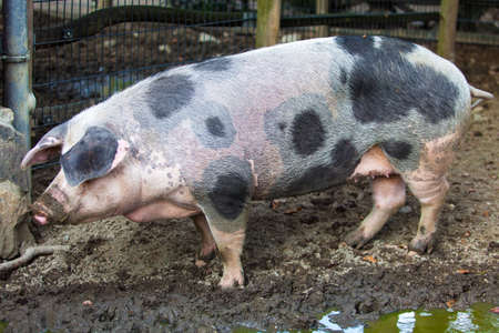 pigpen: Pig on a farm