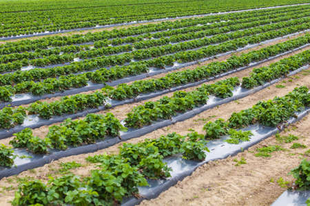 cropland: strawberry field Stock Photo
