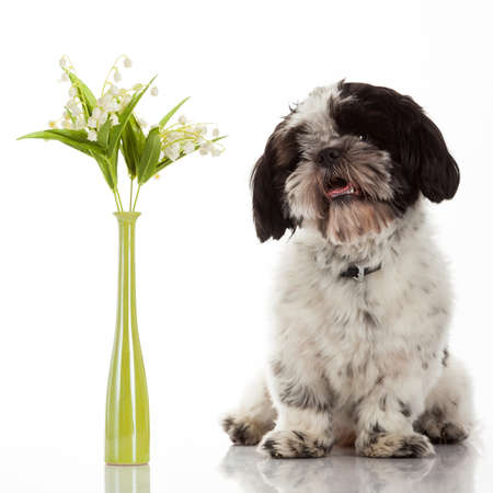 tzu: Shih Tzu puppy Stock Photo