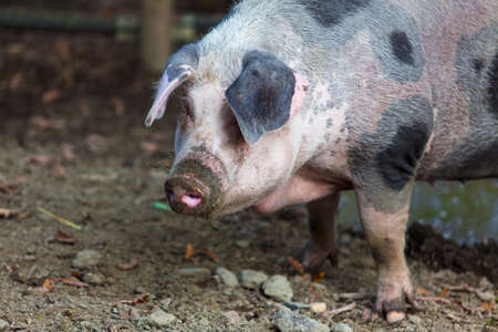 omnivores: Pig on a farm