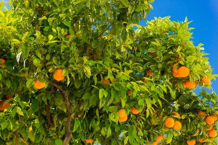 naranja arbol: Orange tree. oranges hanging tree. Ripe tangerines on a tree branch. Foto de archivo