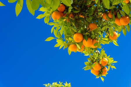 Orange tree. oranges hanging tree. Ripe tangerines on a tree branch. Stock Photo