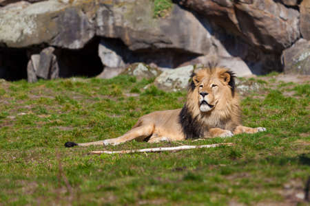 adapted: Big male lion lying on the grass