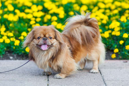 Pekingese dog Standard-Bild