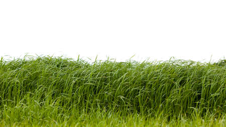 vernal: Grass isolated on white background. Stock Photo
