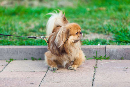 beautiful pekingese on grass Stock Photo