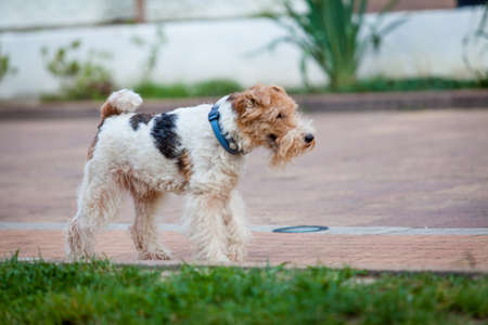 fox terrier puppy: beautiful dog. Portrait young dog playing. Fox Terrier