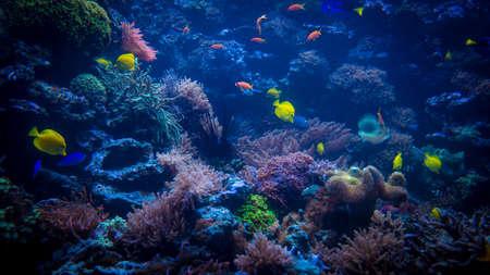 firefish: tropical fishes meet in blue coral reef sea water aquarium. Underwater paradise. beautiful underwater world