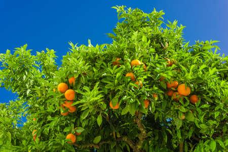 naranja arbol: Orange tree. oranges hanging on branch, orange orchard