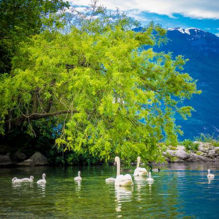 Mute Swan. Beautiful young swans in lake Stock Photo