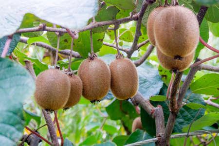 kiwi: kiwi fruit on the branch. Kiwi on a tree