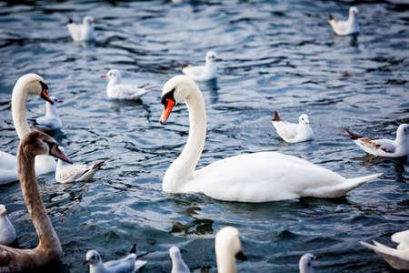 White Swan on the Lake.  Swan on water. Mute swan Stock Photo