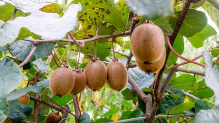kiwi fruit on the branch. Kiwi on a tree