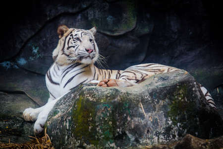wildcats: White tiger. Tiger On a Rock