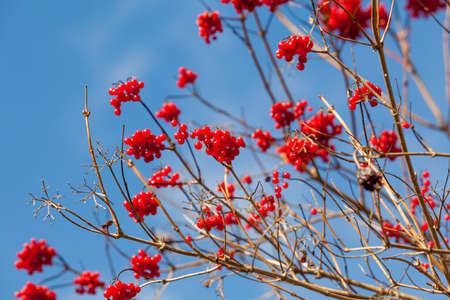 Viburnum (viburnum opulus) berries with its leaves outdoor in winter.  Red berries. red viburnum on a sunny day