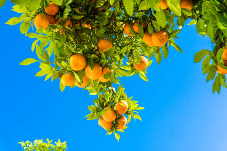 clementines: Tangerine tree. Oranges on a citrus tree.  clementines ripening on tree against blue sky