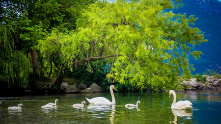 sweetly: Mute Swan. Beautiful young swans in lake Stock Photo