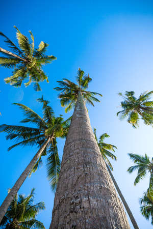 nice palm trees in the blue  sky.  Coconut palm trees.  palm tree perspective view from floor high up
