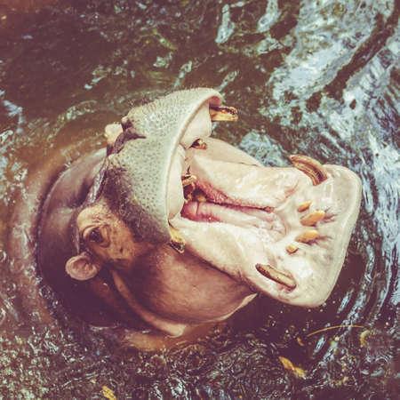animals amphibious: Hippo in water.  Yawning common hippopotamus