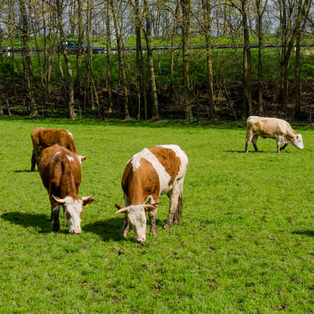 diarrhoea: Dirty cow. Cows grazing on a green field Stock Photo