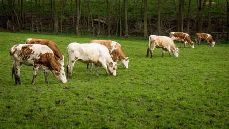 Dirty cow. Cows grazing on a green field Stock Photo