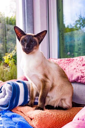oriental cat.  Siamese cat