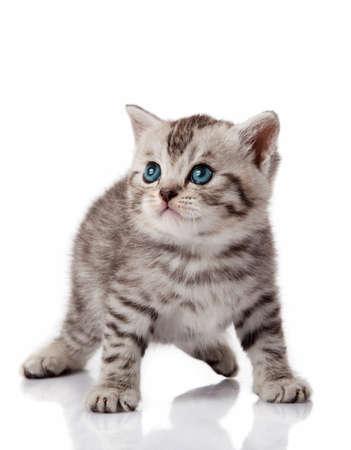 nursling: Cute little kitten. kitten with blue eyes. Kitten on a white background