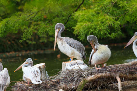 White Pelican.  group of pelicans in the pond