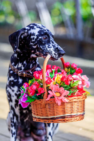 Dalmatian dog. dog holding a flower in the mouth