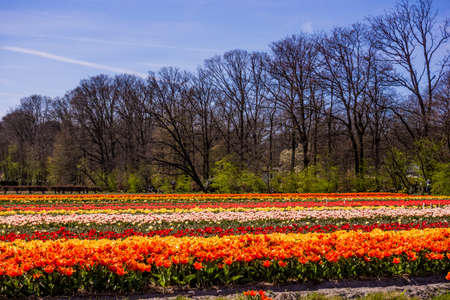 Tulip colorful blossom flowers cultivation field in spring. Keukenhof, Holland or Netherlands, Europe Stock Photo