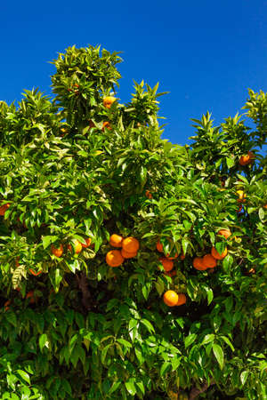 crone: fruits of the tangerine trees. mandarin fruits Stock Photo