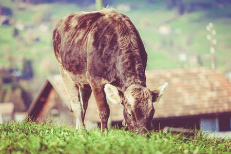 cow on a green summer meadow. Cows on a green field. Swiss cow. Vintage Retro Filter