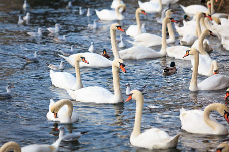 cygnet: White Swans. swans on a lake. Group of swans Stock Photo
