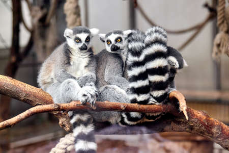 ring tailed: family Ring tailed Lemur Stock Photo