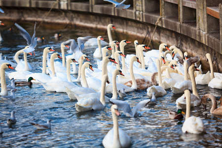 child protection: White Swans. swans on a lake. Group of swans Stock Photo
