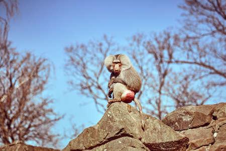 Hamadryas  sitting on a stone. Hamadryas baboon. Papio hamadryas. Monkey Stock Photo