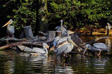 White Pelican , Pelecanus onocrotalus. Couple of White pelicans  on nest Stock Photo