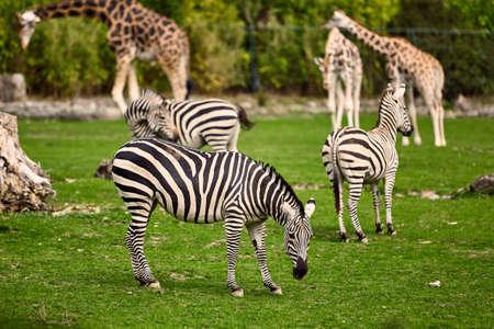 stripy: giraffe and zebra  in a wildlife park Stock Photo