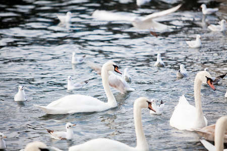 White Swans. swans on a lake. Group of swans Stock Photo