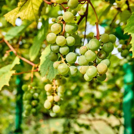 bunch of white grapes in garden. ripening grape clusters on the vine Stock Photo