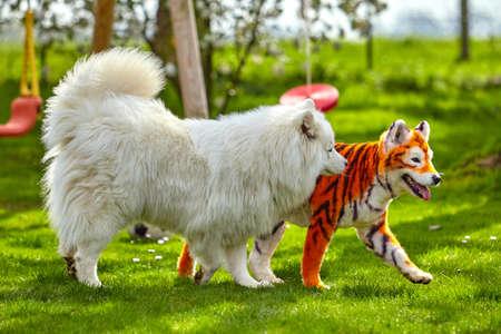 samoyed dog.