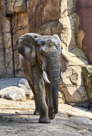 Elephant in a zoo Stock Photo