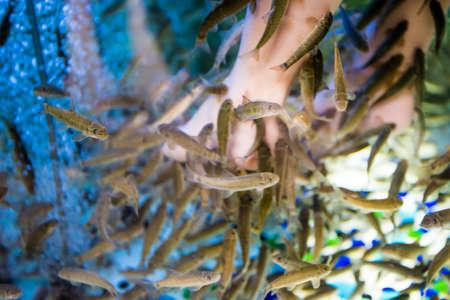 kangal: Fish spa feet pedicure. Fish Spa Skin Therapy Stock Photo