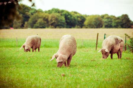돼지 농장. 필드에 돼지입니다. 초원에 건강한 돼지
