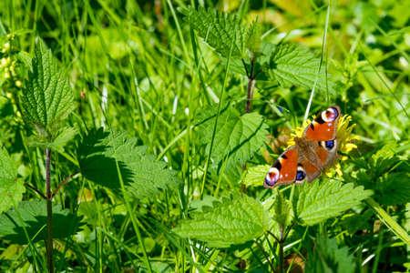 butterfly on flower. Peacock Butterfly