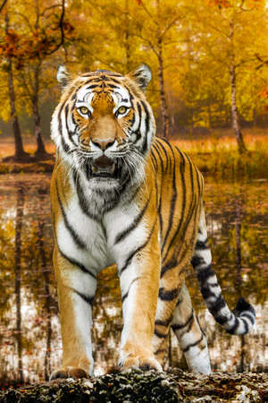 Tiger in autumn forest. Tiger portrait Stock Photo