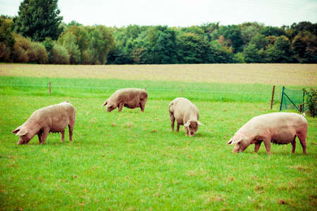 Pig farm.  pigs in field. Healthy pig on meadow 版權商用圖片 - 92333144