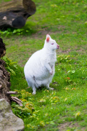 Albino kangaroo. white kangaroo Stock Photo