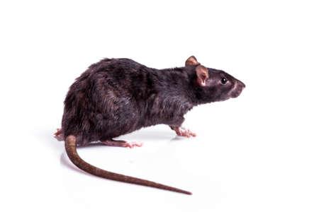 白い背景に隔離されたネズミ 写真素材